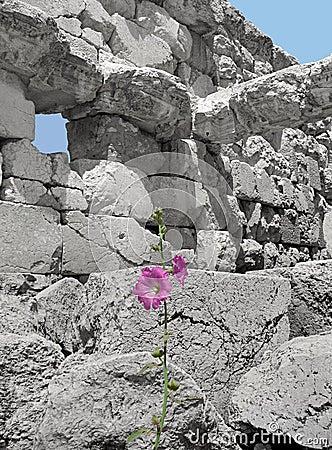 Hibiscus amidst Ruins