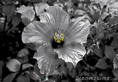 Hibiscus bloom selective color