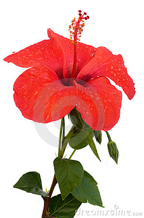 Free Hibiscus Flower Royalty Free Stock Photography - 14960117