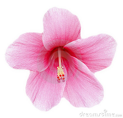 Free Hibiscus Flower Stock Images - 2419004