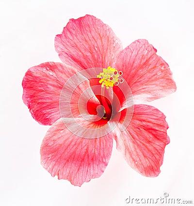 Free Hibiscus Flower Royalty Free Stock Photo - 31364915