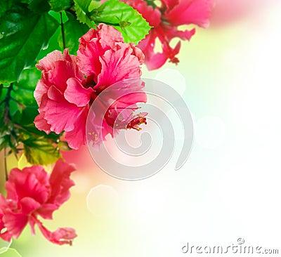Free Hibiscus Flower Border Design Stock Photography - 24814562