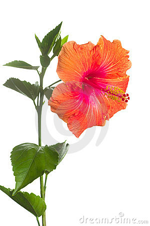Hibiscus flower isolated