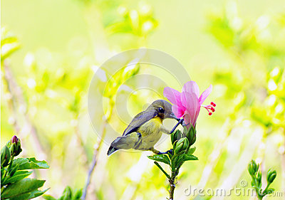 Hibiscus flower with Olive-backed sunbird