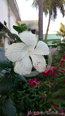 Free Hibiscus Flowers, Hibiscus, Rose Mallow Royalty Free Stock Image - 96751496