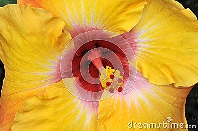 Hibiscus  Jason  Horizontal Close-Up