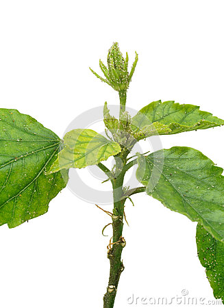 More similar stock images of leaf of walnut tree attacked by mite