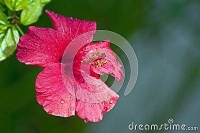 Hibiscus rosa-sinensis flower