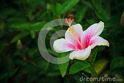 Hibiscus rosa-sinensis flower on tree in the garde