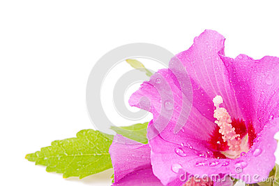 Hibiscus with water drops