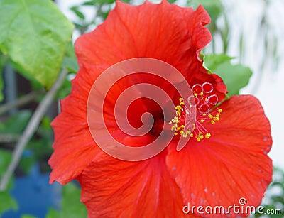 Hibiskus Flowers 1