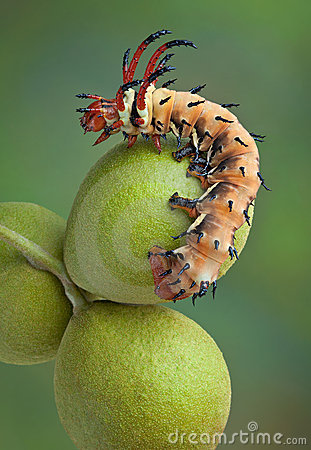 Free Hickory Horned Devil On Walnuts Stock Photos - 20778143