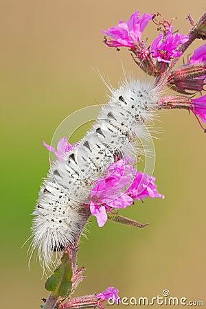Free Hickory Tussock Moth Stock Image - 59573621