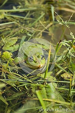 Hidden bullfrog