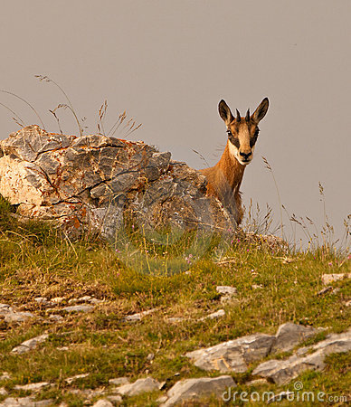 Hide and Seek of a Chamois