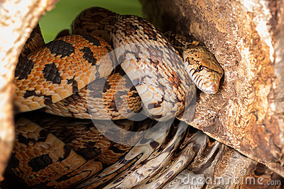 Hiding adult bullsnake
