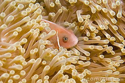 Hiding in an Anemone
