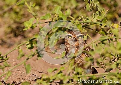 Hiding Burrowing Owl