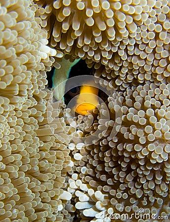 Hiding Clarks Clownfish