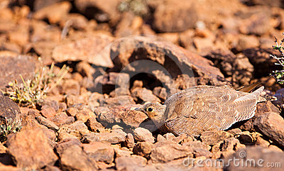 A hiding Four-banded Sandgrouse