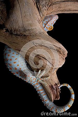 Hiding Gecko