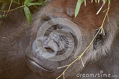 Hiding gorilla