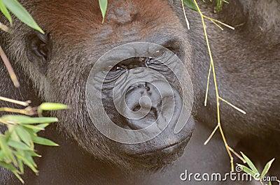 Hiding gorilla2