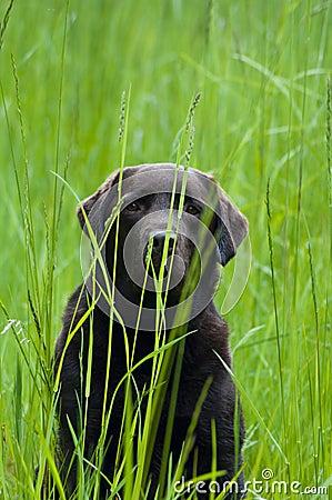 Hiding Labrador