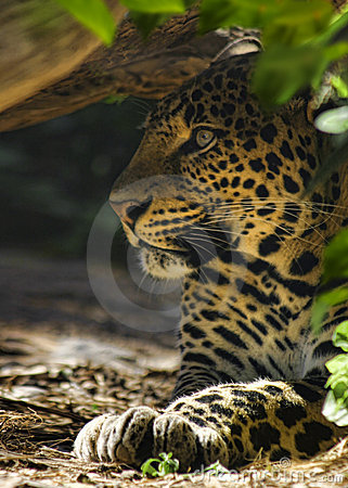 Free Hiding Leopard Royalty Free Stock Photography - 13027397