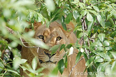 Hiding lioness