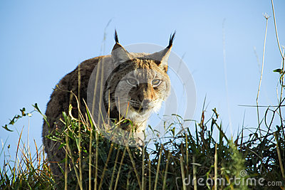 Hiding Lynx