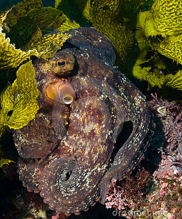 Hiding Octopus