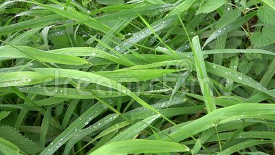 Hierba verde fresca con gotas de rocío almacen de video