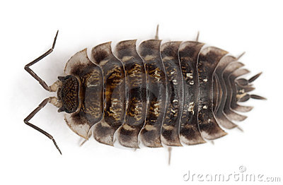 High angle view of Common woodlouse, Oniscus