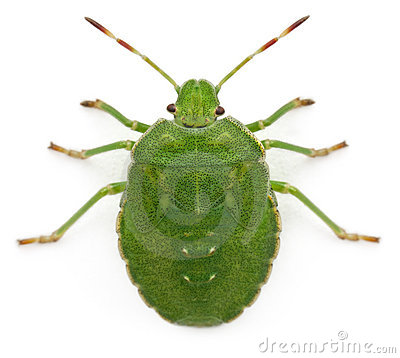High angle view of a Green shield bug