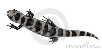 High angle view of Marbled Salamander