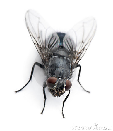 Free High Angle View Of Housefly, Musca Domestica Royalty Free Stock Images - 13665199