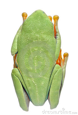 High angle view of Red-eyed Treefrog
