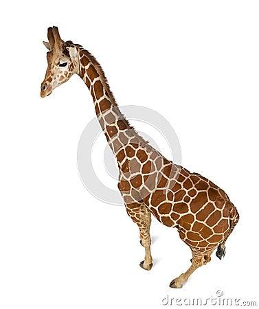 High angle view of Somali Giraffe