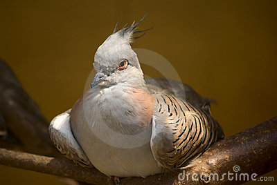 High-bred pigeon