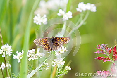 High Brown Fritillary Butterflies on White Flower