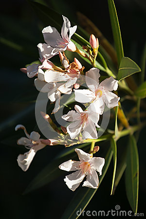 High Contrast Image of Salmon Coloured Oleander Fl