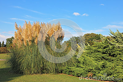 High decorative reeds