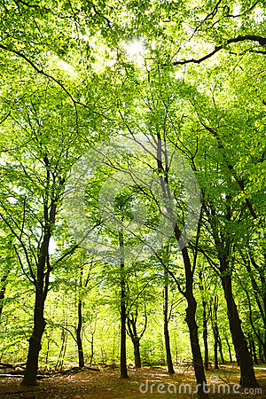 Free High Forrest Trees In The Woods With Sunlight Royalty Free Stock Image - 92181566