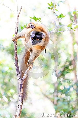 High key lemur
