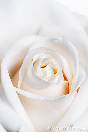 High Key Soft Focus White Rose