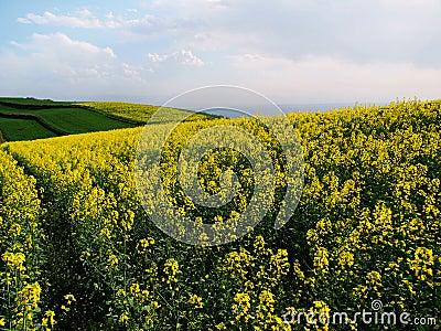 High mountain rape flower