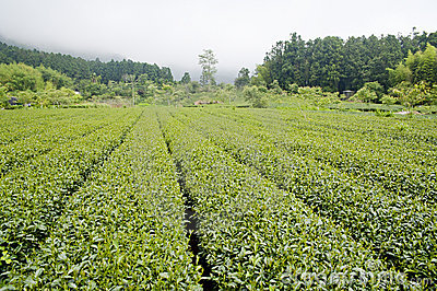 High mountain tea  farm
