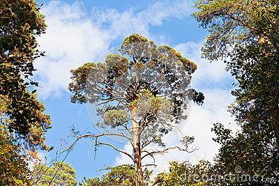 High pine under blue sky in autumn