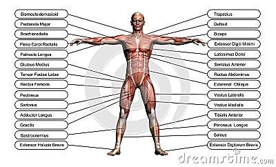 High resolution concept or conceptual 3D human anatomy